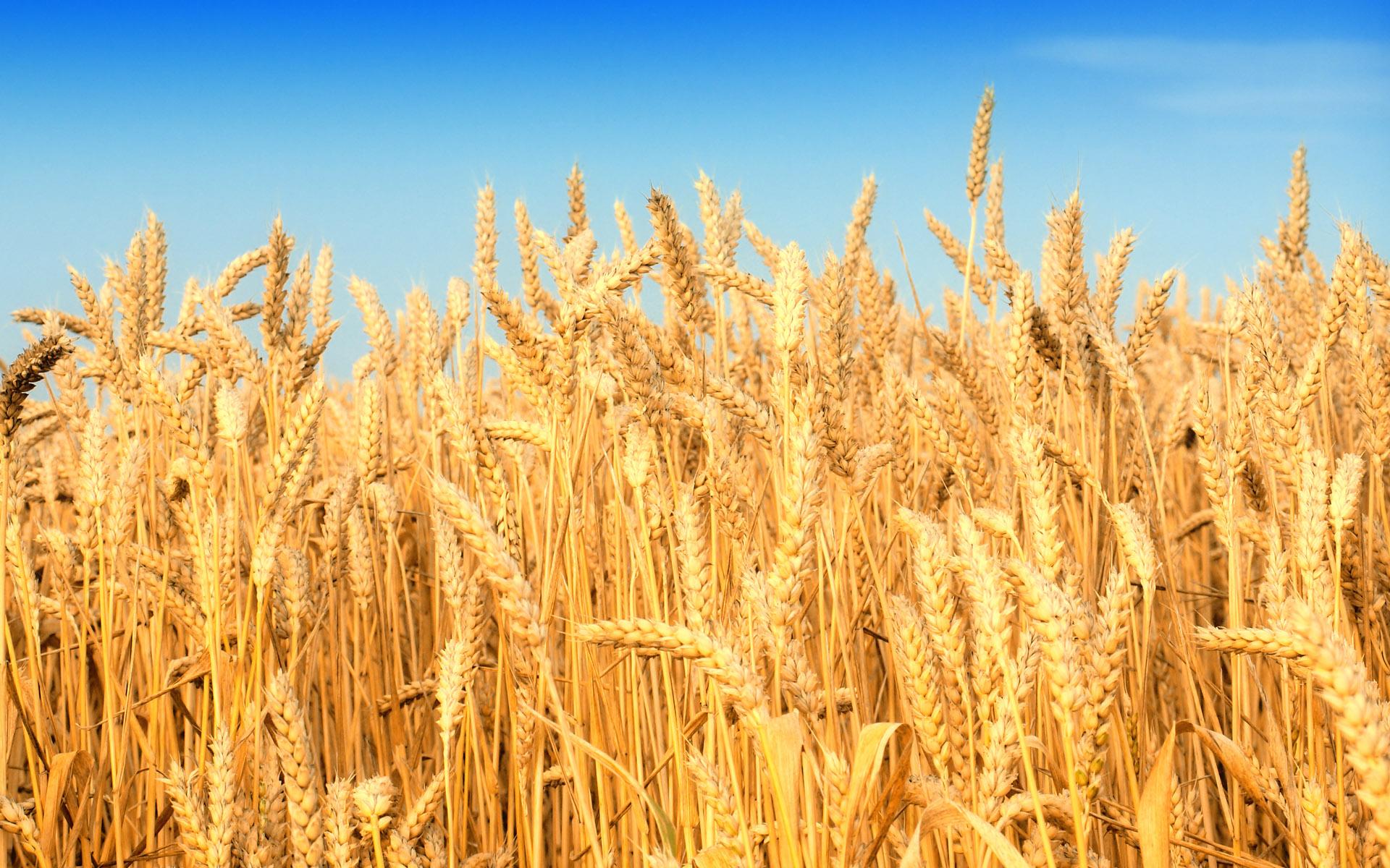 وزارة الفلاحة: إنتاج الحبوب انخفض بـ70% خلال هذه السنة