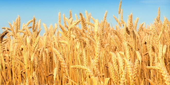 إنتاج الحبوب