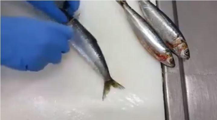 فيديو .. أسهل و أسرع طريقة لتنظيف السردين