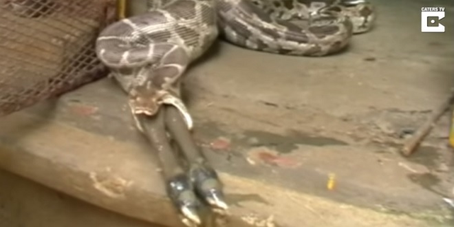 بالفيديو.. لقطات مروعة لثعبان يلتهم ظبيا في قرية هندية