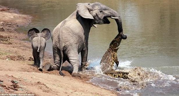 بالفيديو.. تمساح يهاجم فيل بينما كان يشرب