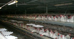 سعر الدجاج في الجزائر