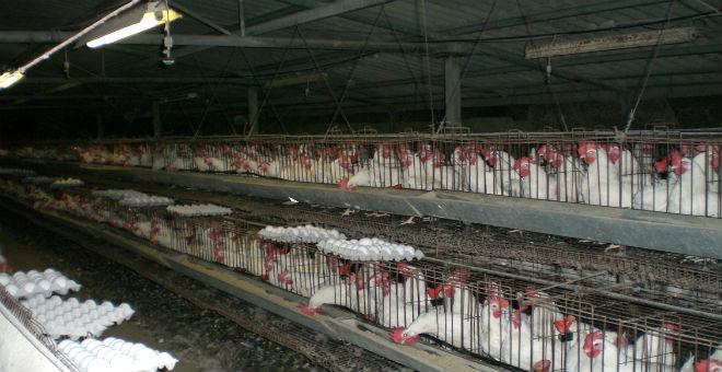 بسبب مرض جديد..ارتفاع سعر الدجاج في الجزائر إلى مستويات قياسية