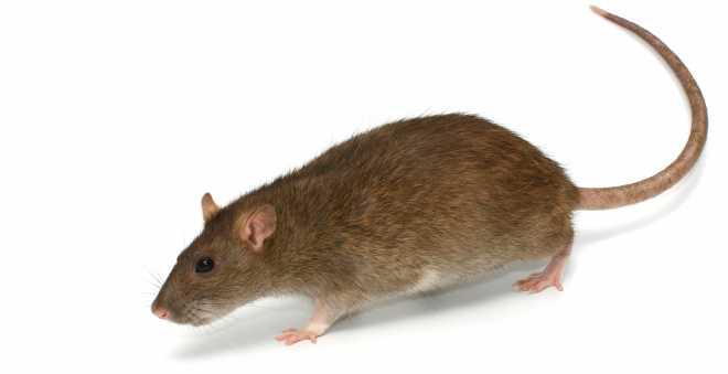 فأر يحاول جاهدا تسلق سلم كهربائي نازل