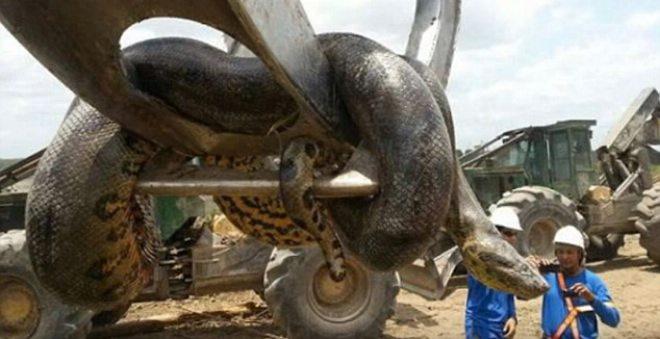 مرعب.. أناكوندا عملاقة تهاجم عمال سد