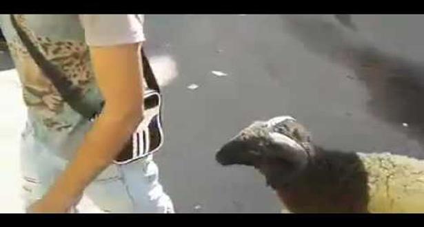 بالفيديو.. إضحك مع أغرب كبش يوجد في المغرب