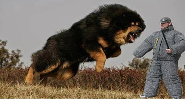 بالفيديو.. أشرس وأخطر أنواع الكلاب في العالم