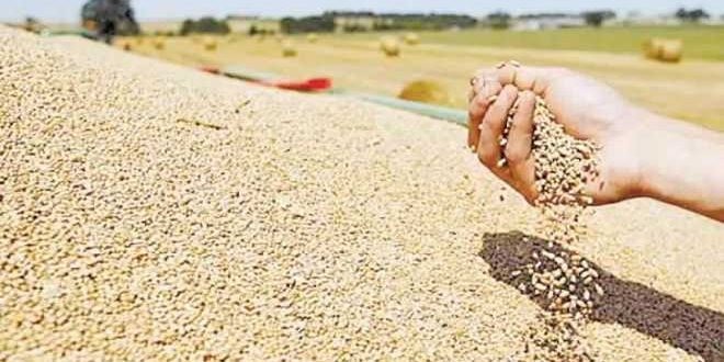 القمح الأمريكي اللين