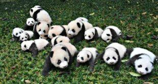 الباندا العملاقة