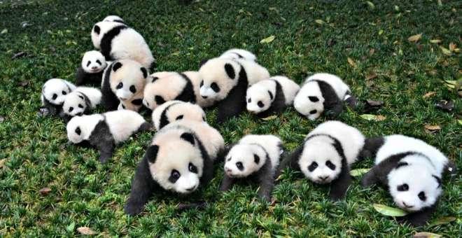 حيوان الباندا العملاقة لم يعد مهددا بالإنقراض حسب آخر الأرقام