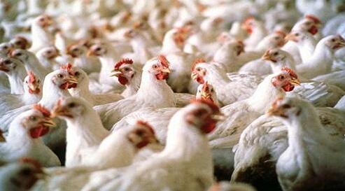 أنفلونزا الطيور.. هل أصابت دواجن المغرب من جديد ؟
