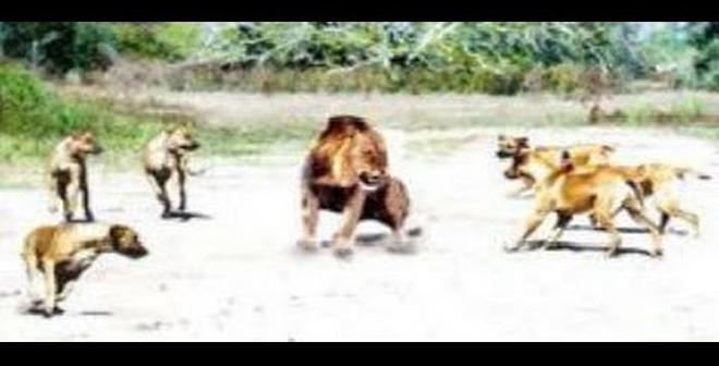بالفيديو.. صراع بين كلاب البيتبول و الأسد!