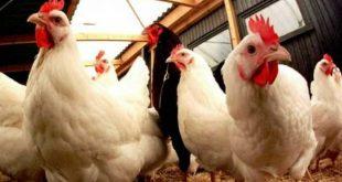 أسعار الدجاج