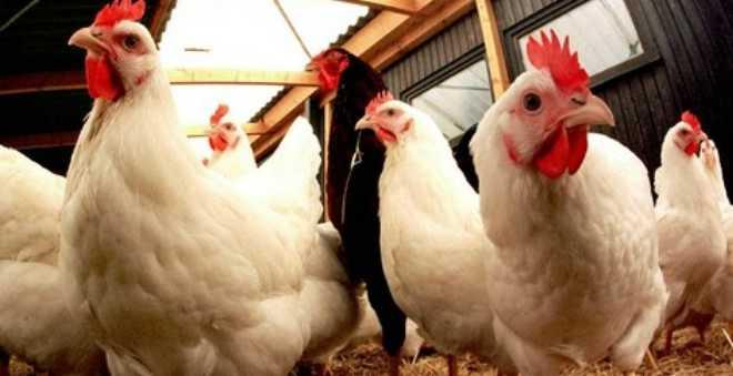 أسعار الدجاج تلهب جيوب المغاربة.. وهذه هي الأسباب!