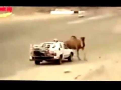 فيديو مؤثرجدا .. شاهد ماذا فعلت هذه الناقة بالسيارة حتى لا يأخذوا ولدها !!