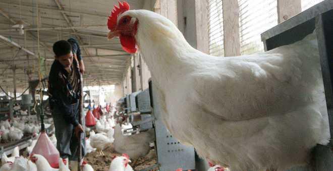 إعدام 1,5 مليون طائر في أوروبا منذ تفشي فيروس