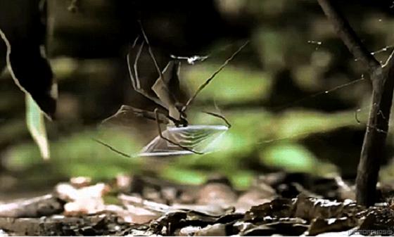 كيف يقوم العنكبوت باصطياد فريسته بمهارة شديدة