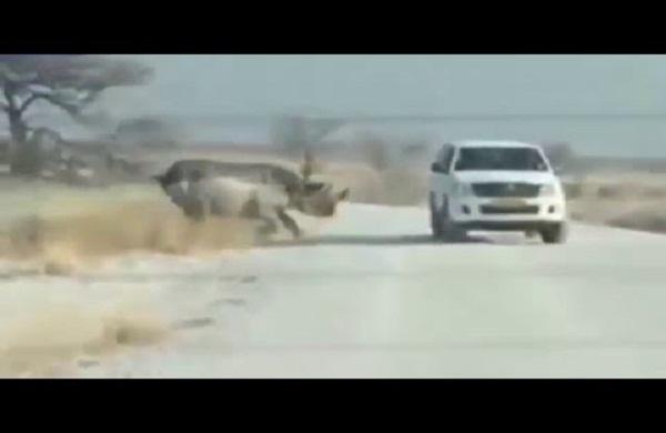 هجوم وحيد القرن غاضب على سيارة للسياح