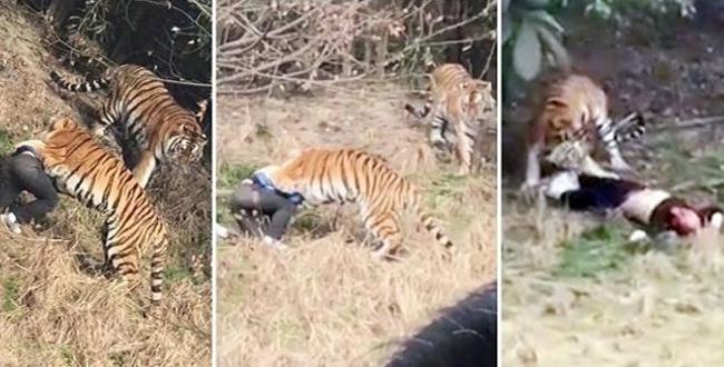 فيديو صادم .. رجل التهمه نمر على مرأى من زوجته وابنته الطفلة في حديقة للحيوان