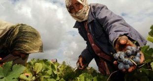 الباطرونا الزراعية
