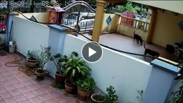 😧😧😧😧 سيدة تجمع مخلفات كلابها لترميها على جارتها