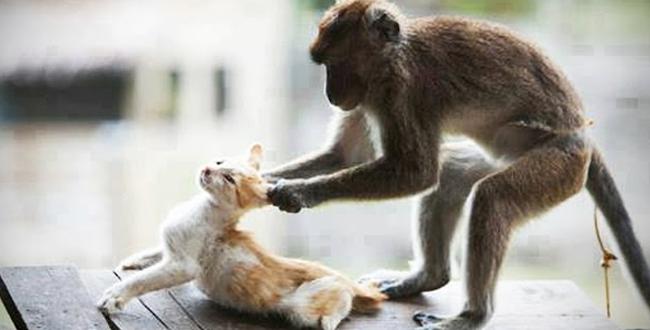 فيديو.. مجموعة مقاطع مضحكة للقردة مع القطط