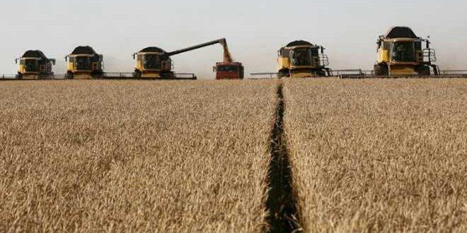 صدأ القمح يستنفر منظمات الغذاء.. والمغرب مطالب بحماية محاصيله
