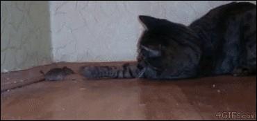 قط يلعب مع فأر
