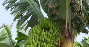 تصدير الموز الكناري إلى المغرب،