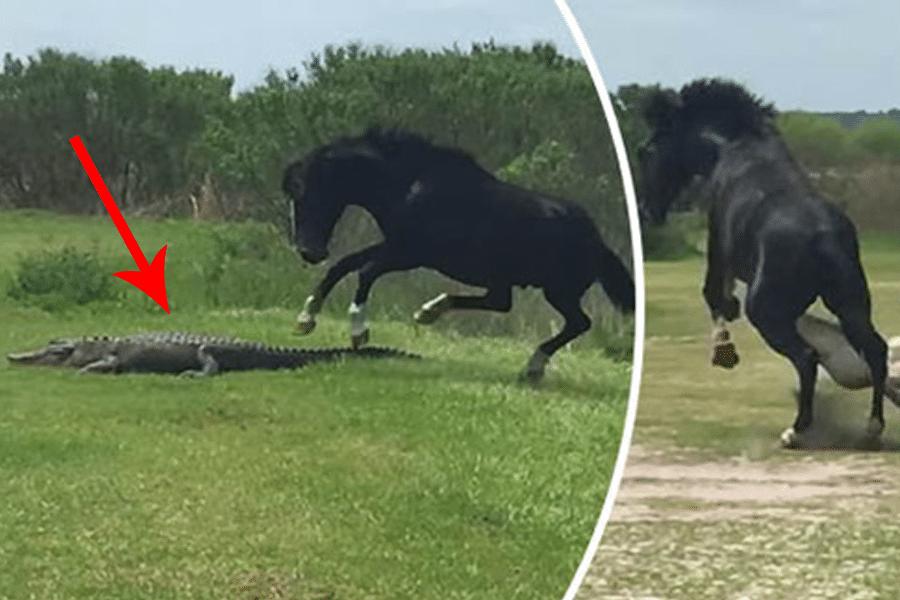 حصان يهاجم تمساحاً في مشهد استثنائي – فيديو