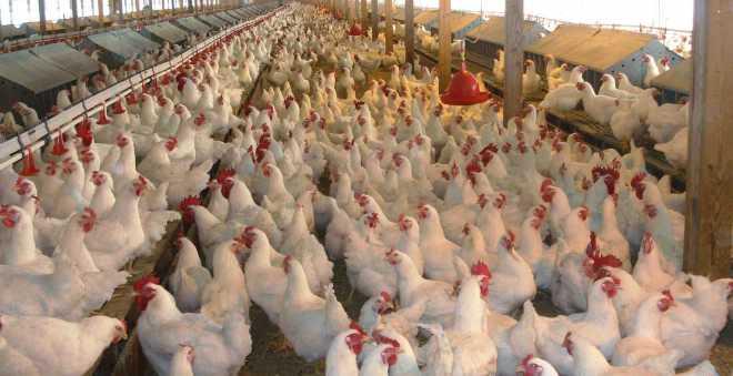 أسعار الدجاج تلهب جيوب المغاربة ومهنيون يوضحون الأسباب