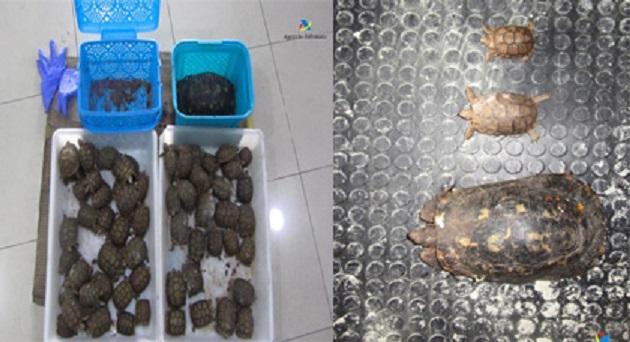 توقيف مغربي حاول تهريب 66 سلحفاة مهددة بالإنقراض