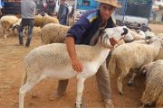 وزارة الفلاحة: رؤوس الأضاحي تغطي الطلب في الأسواق المغربية