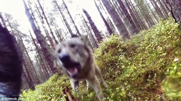 بالفيديو.. الكلاب المسعورة تنهش طفلا حتى الموت