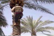 اقليم الحوز.. مصرع مياوم سقط من أعلى شجرة لجني الجوز بإحدى الضيعات