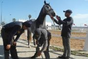 الجديدة.. أول ملتقى لتثمين سلالة الخيول البربرية العربية ابتداء من غد الأربعاء