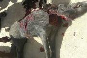 اقليم الجديدة.. خنزير بري يهاجم سكان جماعة مولاي عبد الله ويصيبهم بجروح خطيرة