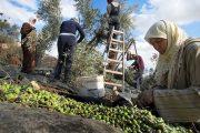 مهنيو قطاع زيت الزيتون يجتمعون في معرض وطني كبير بوزان