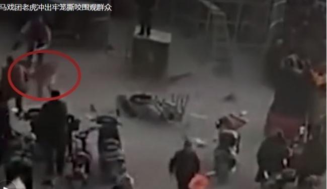 بالفيديو.. نمر ينقض على الجماهير وإصابة طفلين