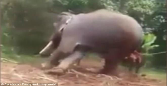بالفيديو.. ثلاثة شبان يكسرون ساق فيل عصى أوامرهم