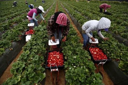إسبانيا تطلب أزيد من 1500 مغربية لجني الفراولة بحقول ويلبا