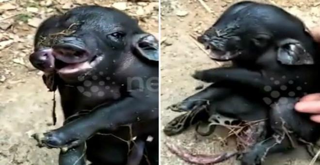 بالفيديو.. مخلوق غريب يشبه الخنزير بأنفين وثمانية أرجل