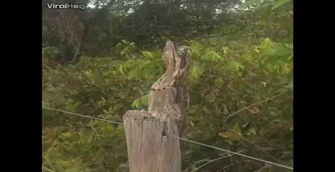 بالفيديو.. طائر مدهش يتنكر في هيئة شجرة