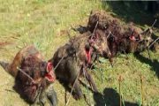 بنسليمان: قنص الخنازير البرية للحد من مخاطرها وأضرارها على المحاصيل الزراعية