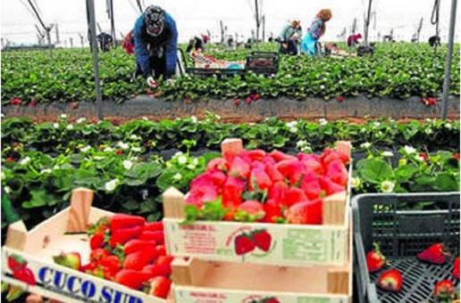 إسبانيا تمنح أكثر من 10 آلاف عقد عمل للمزارعين المغاربة