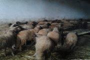 الصخيرات.. توقيف 7 أشخاص متورطين في شراء ماشية مسروقة