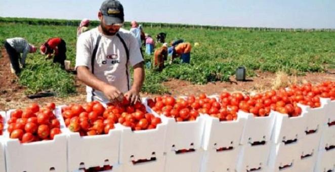 جودة الطماطم المغربية تزعج المنافسين داخل الاتحاد الأوروبي