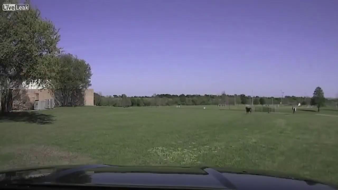 بالفيديو.. بقرة تنتقم من شرطي أعادها للمزرعة