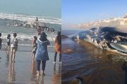 البحر يلقي بحوت ضخم على شاطئ زناتة قرب الدار البيضاء