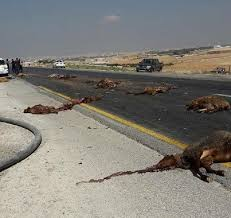 شاحنة تقتل قطيعا من الأغنام بين الشماعية وشيشاوة